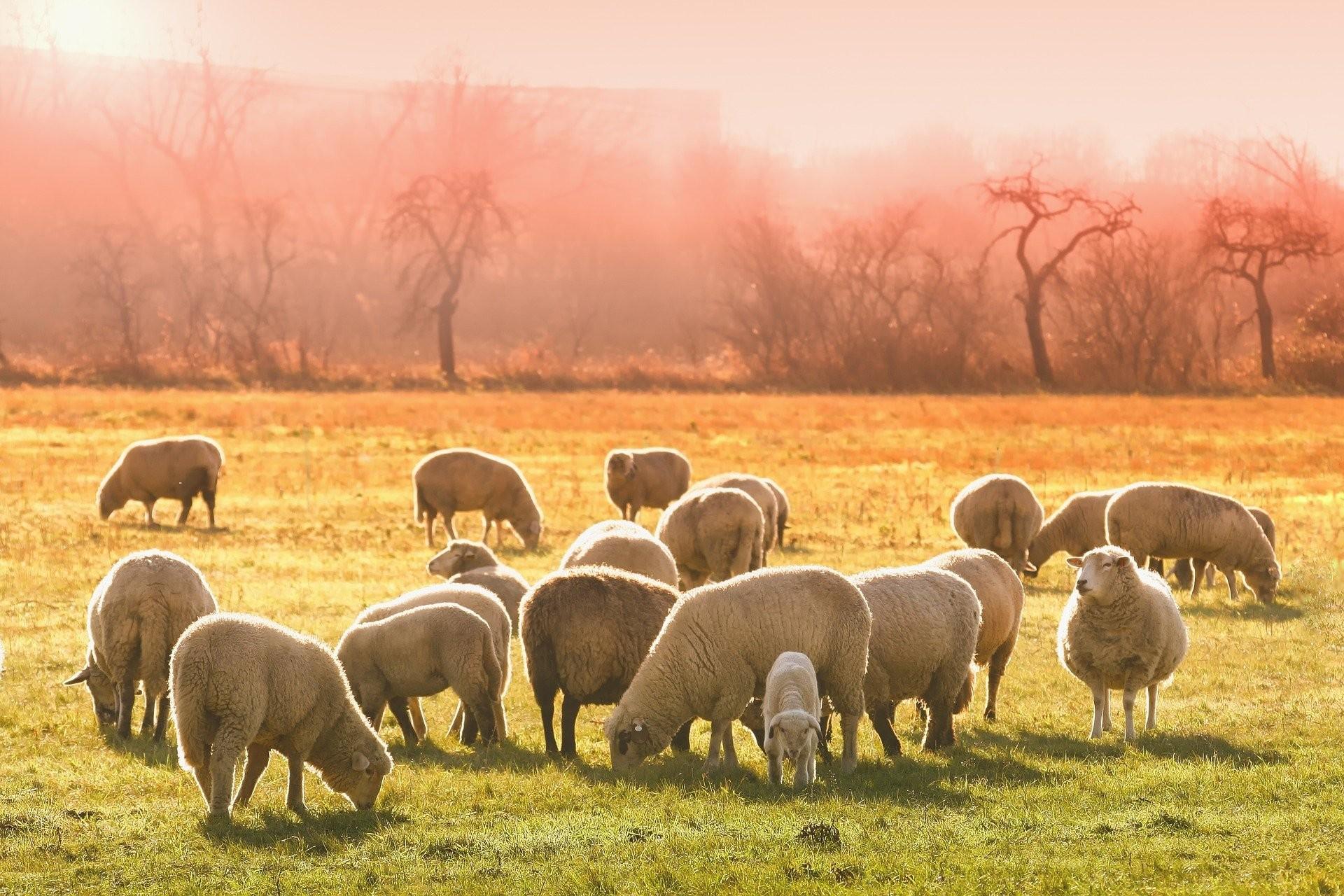 Preço de carne ovina não acompanha alta de outras espécies