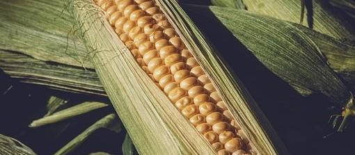 Produtores aceleram plantio do milho