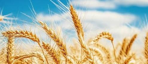 Trigo tem aumento de 87%