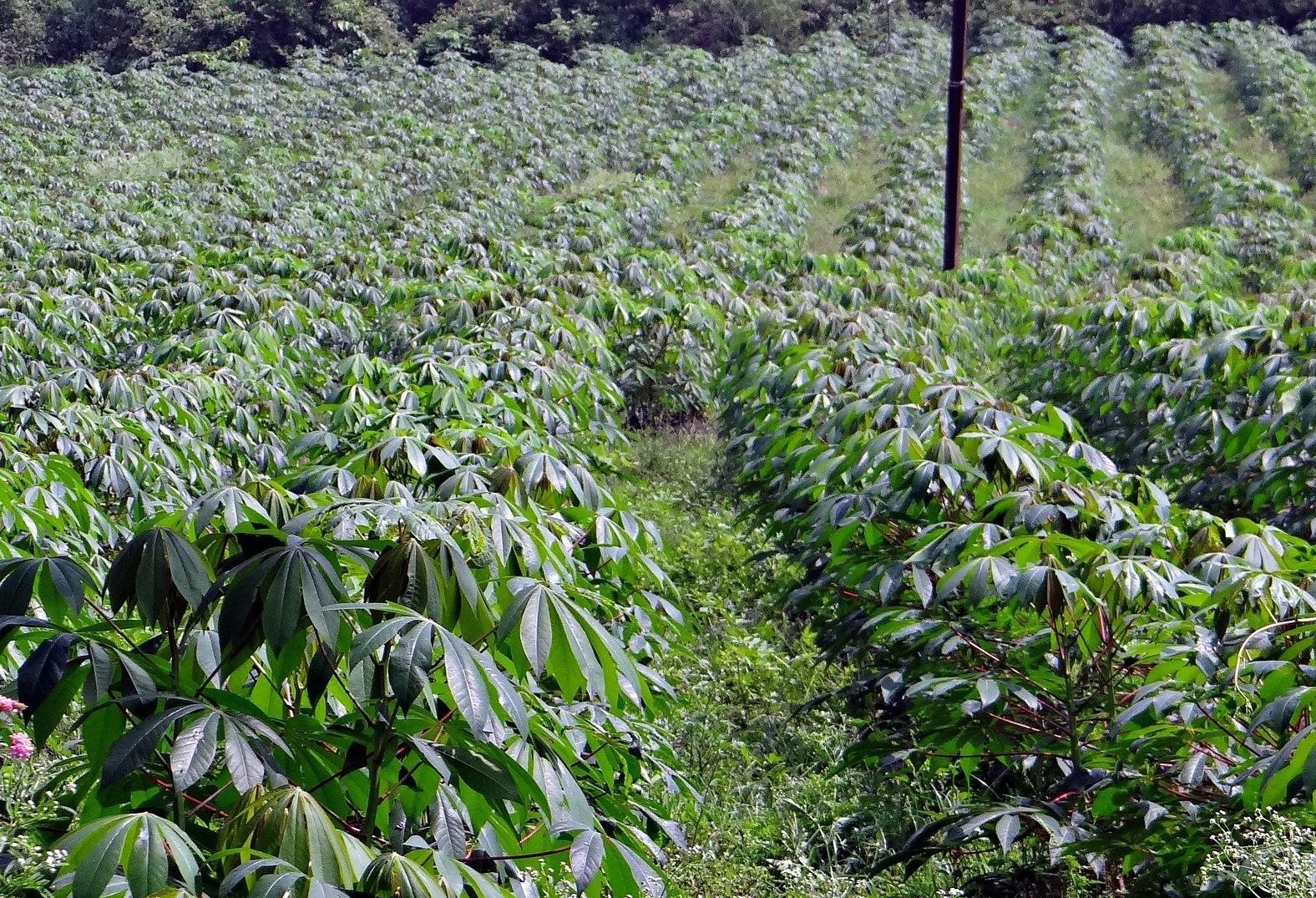 Produtores de raiz mandioca reclamam do alto custo de produção