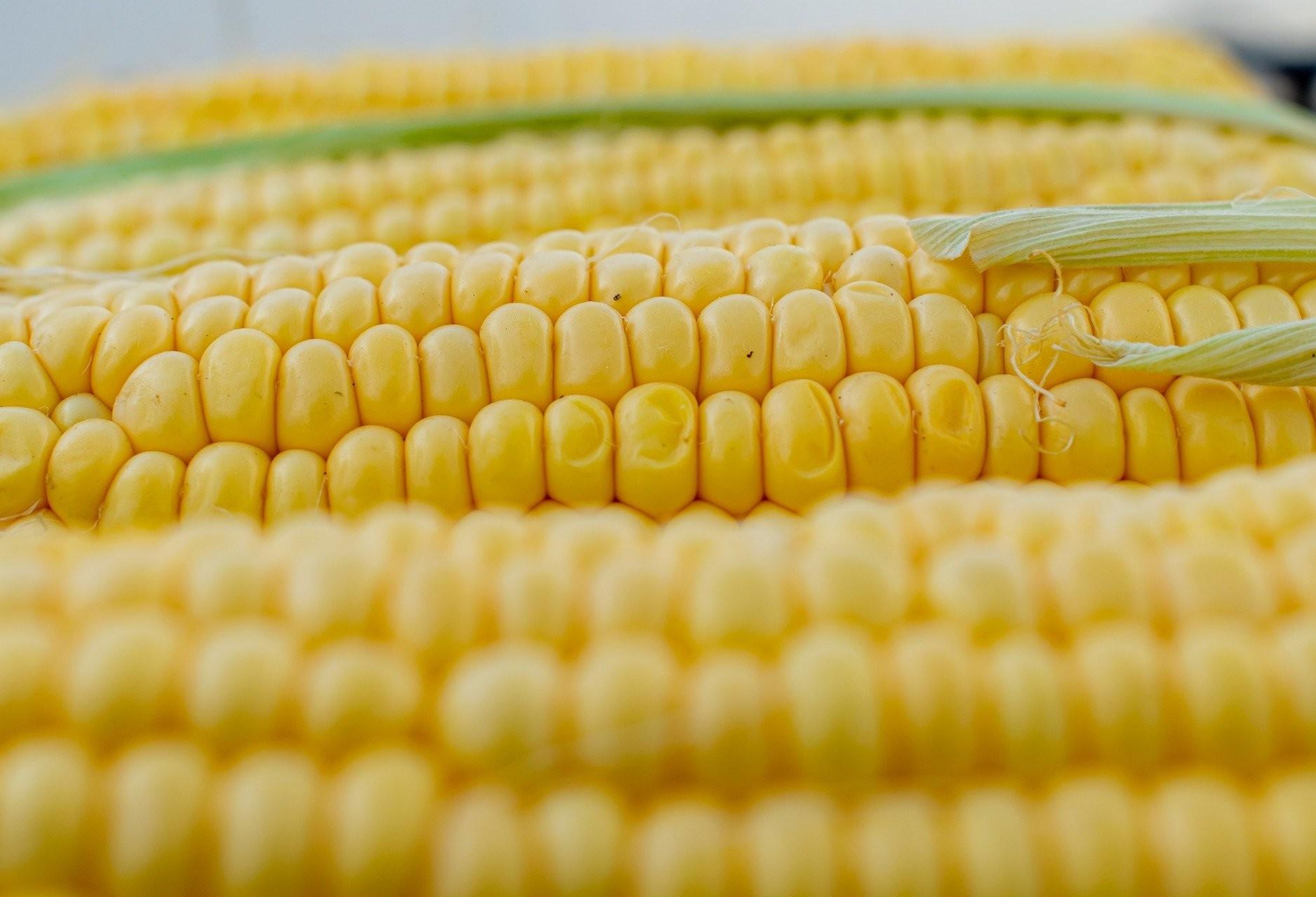Média diária de exportação de milho do Brasil alcançou 65,9 mil toneladas