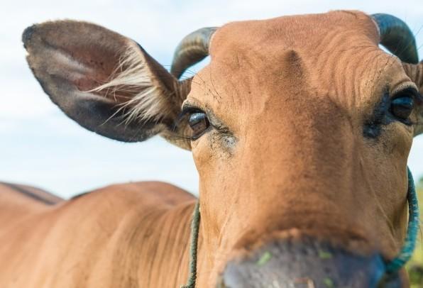 Preço da arroba do boi gordo caiu 1,71% em maio