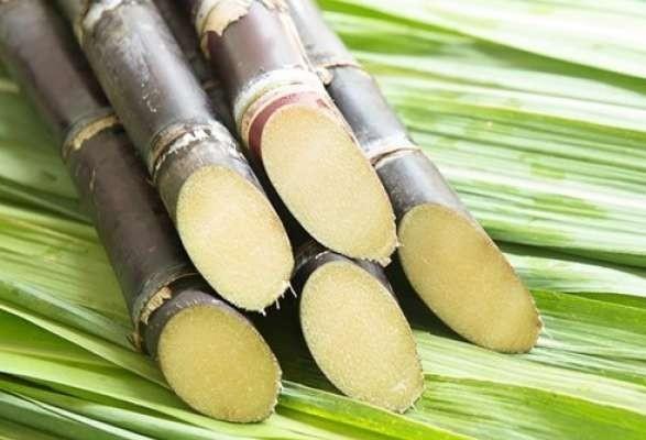 Períodos de estiagem prejudicam desenvolvimento de cana- de- açúcar
