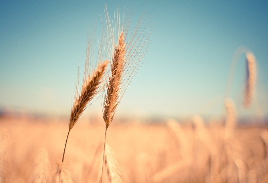 No Paraná, colheita do trigo chega a 76%