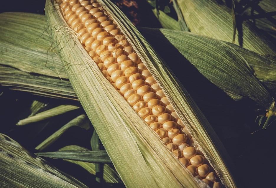 Segunda safra de milho pode alcançar 14 milhões de toneladas