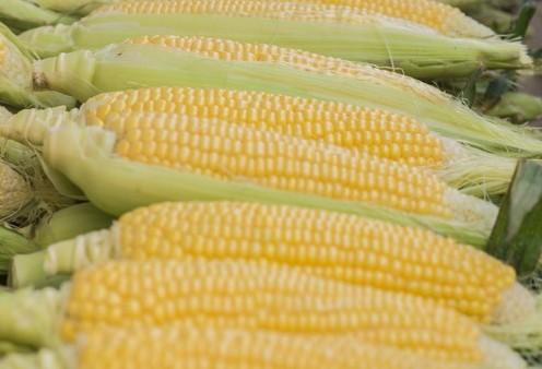Safra de milho deve atingir nível recorde