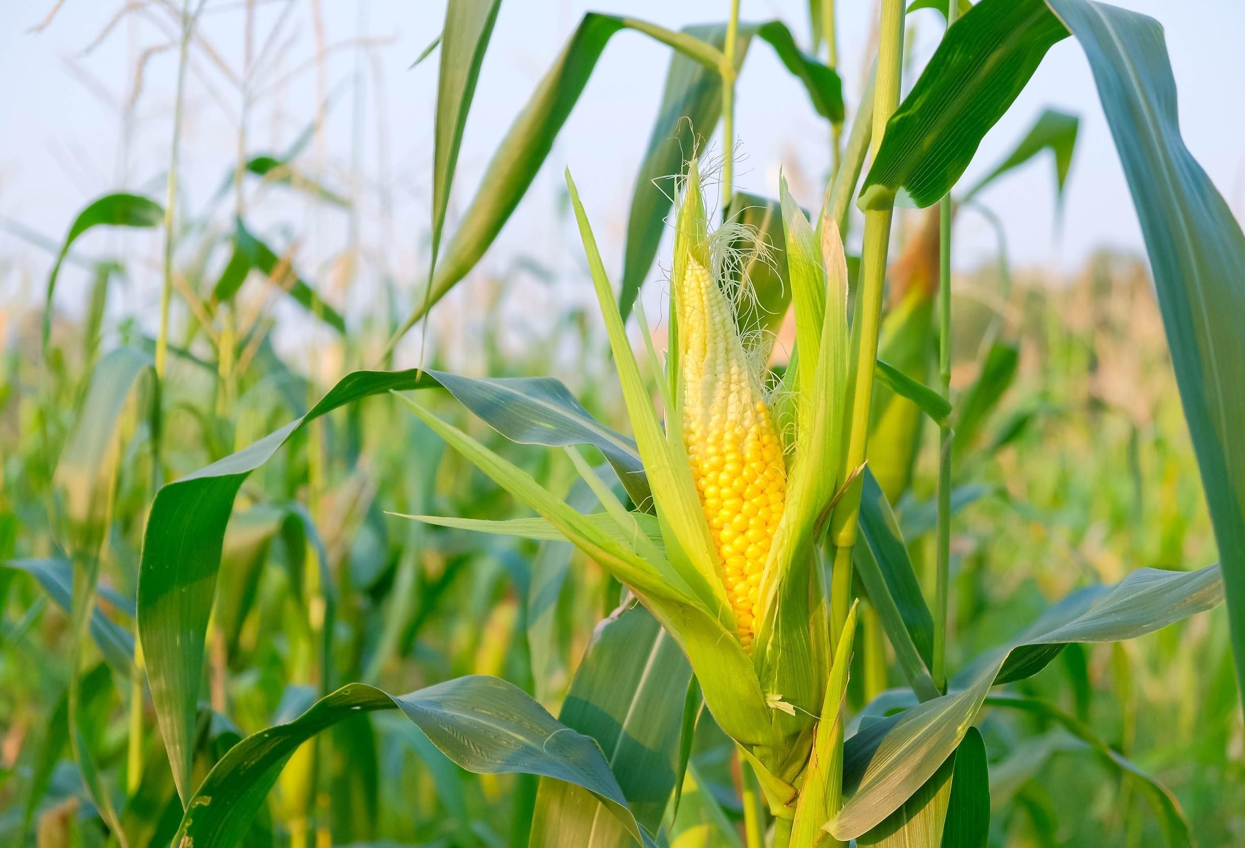 Exportação de milho atinge máxima histórica de 6,3 milhões de toneladas